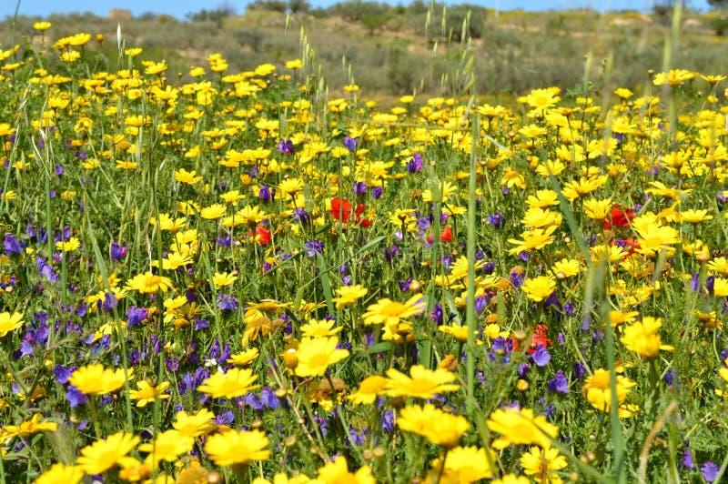 De lenteweide met Wilde Gele Madeliefjes, Siciliaans Landschap, Italië, Europa royalty-vrije stock afbeeldingen