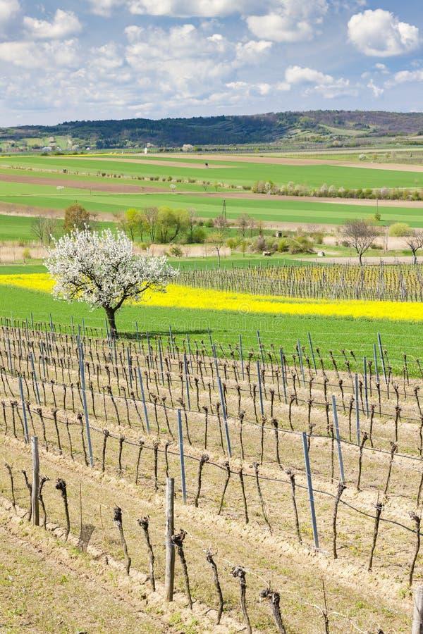 de lentewijngaard dichtbij Retz, Oostenrijk stock foto's