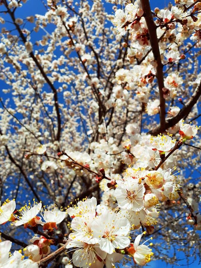 De leuke achtergrond van de lente kwam abrikozenboom tot bloei stock foto's
