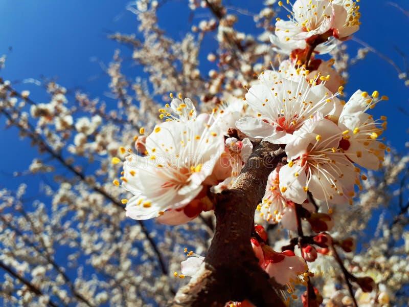 De leuke achtergrond van de lente kwam abrikozenboom tot bloei stock fotografie