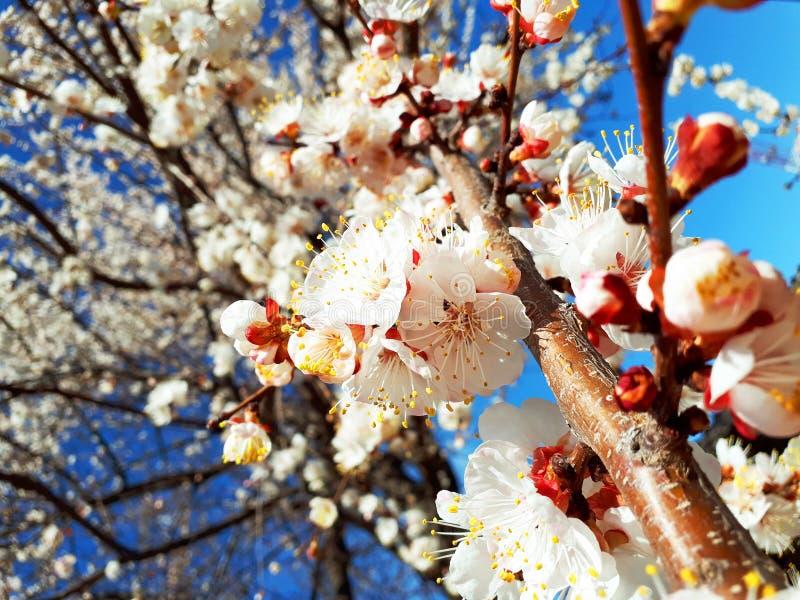 De leuke achtergrond van de lente kwam abrikozenboom tot bloei royalty-vrije stock foto