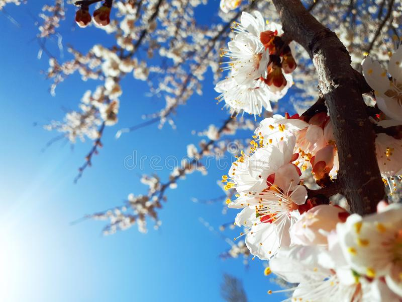 De leuke achtergrond van de lente kwam abrikozenboom tot bloei stock foto