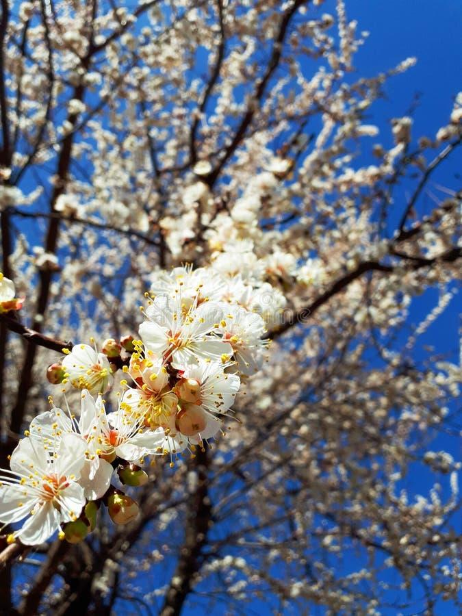 De leuke achtergrond van de lente kwam abrikozenboom tot bloei royalty-vrije stock afbeelding