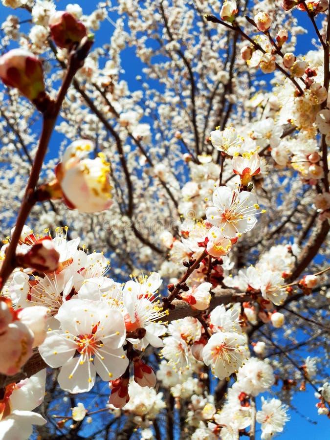 De leuke achtergrond van de lente kwam abrikozenboom tot bloei stock afbeelding