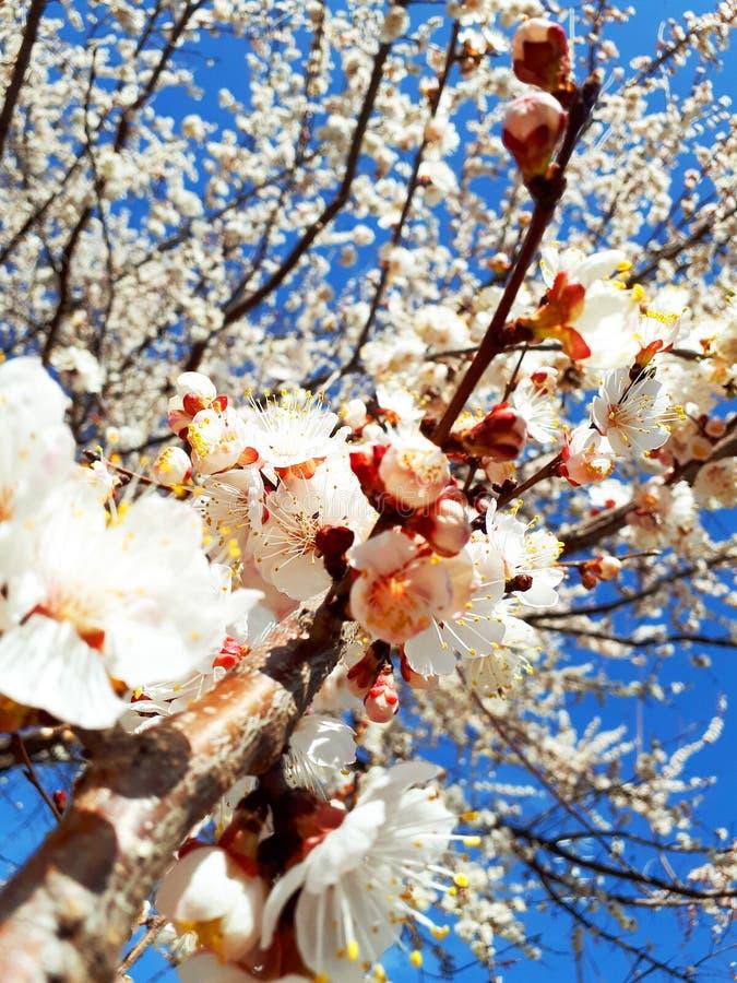 De leuke achtergrond van de lente kwam abrikozenboom tot bloei royalty-vrije stock foto's