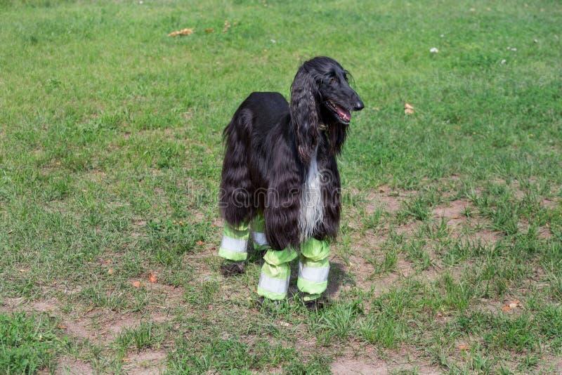 De leuke Afghaanse hond bevindt zich op een groen gras in het park Oostelijke windhond of Perzische windhond Huisdieren royalty-vrije stock foto's