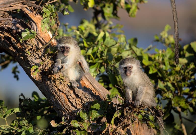 De leuke Apen van Babyvervet in het Nationale Park van Kruger stock afbeeldingen