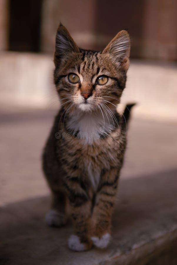 De leuke benevelde mooie katjes grijze kat kijkt met rente op fotograaf Zwart-witte straat betoverende zwarte kat Babykat stock afbeelding