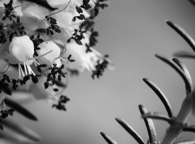 de leuke bloemen van weinig heideinstallatie in zwart-witte macro dichte omhooggaand stock fotografie