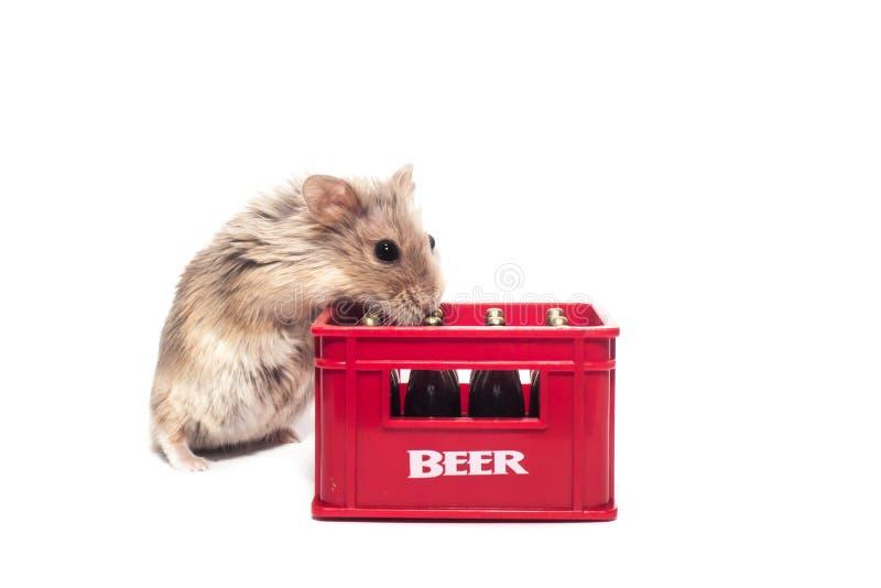 De leuke bont kleine dwerghamster van Campbell in een studio met baarzen van een alcohol - bier royalty-vrije stock fotografie