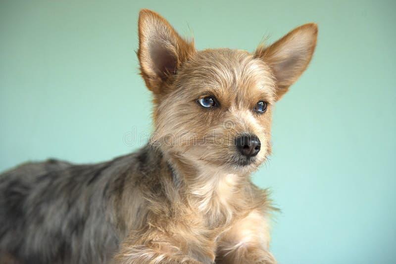 De leuke chihuahua van mengelingsbleu merle en van het de terriërpuppy van Yorkshire hond †‹â€ ‹met een BLEU-oog royalty-vrije stock foto's