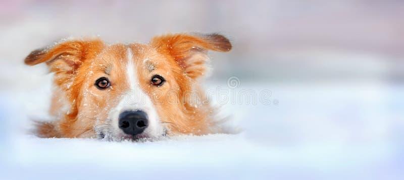 De leuke collie die van de hondgrens in de sneeuw ligt stock afbeelding