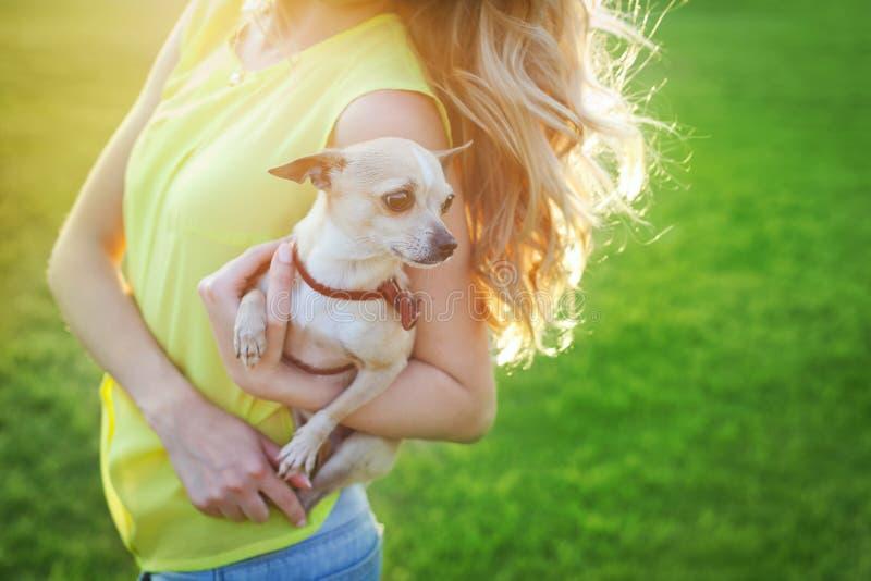 De leuke de hondzitting van het chihuahuapuppy op een vrouw overhandigt op een zonnige dag royalty-vrije stock fotografie