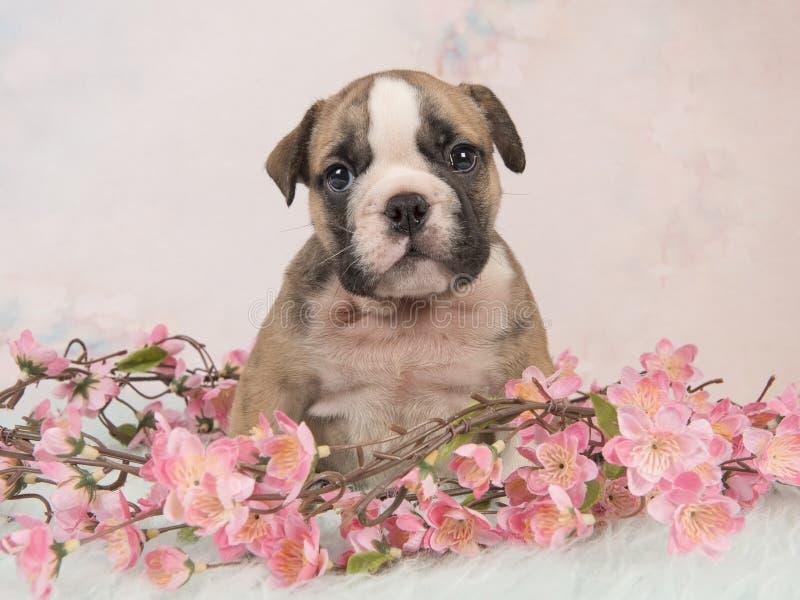 De leuke Engelse zitting van het buldogpuppy tussen roze bloemen op een blauw bont op een zachte roze achtergrond royalty-vrije stock fotografie