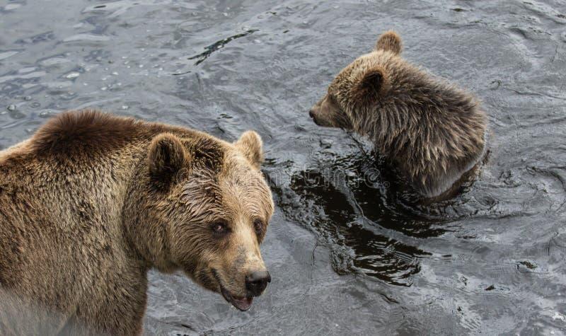 De leuke familie van bruine beermoeder draagt en zijn baby die in het donkere water spelen Beringianus van Ursusarctos Kamchatka  royalty-vrije stock afbeeldingen