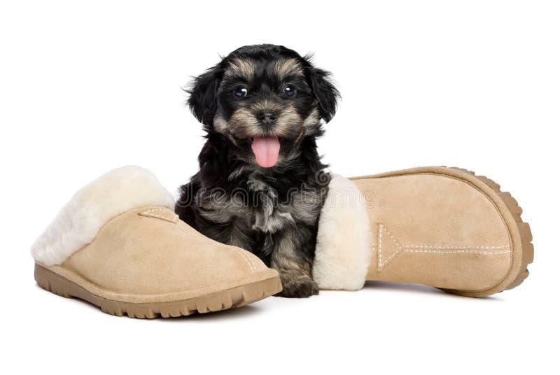 De leuke gelukkige havanese puppyhond zit naast pantoffels stock foto's