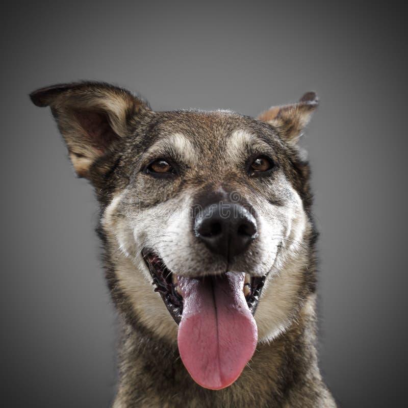 De leuke grappige hond is het symbool van 2018, uit geplakt zijn tong en glimlachen, die op grijze achtergrond stellen royalty-vrije stock afbeeldingen