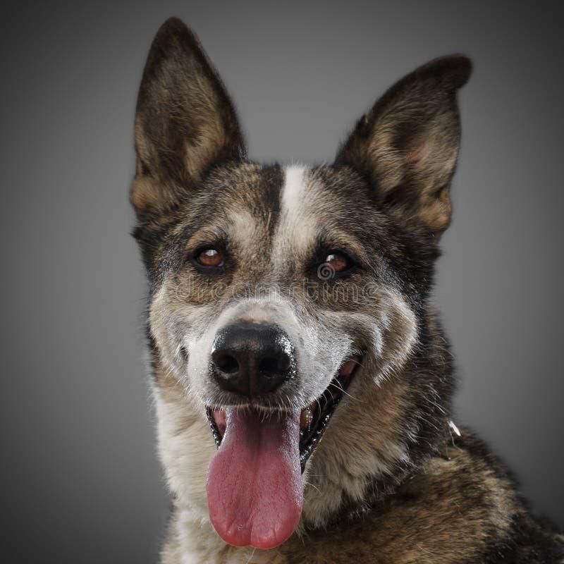De leuke grappige hond is het symbool van 2018, uit geplakt zijn tong en glimlachen, die op grijze achtergrond stellen stock fotografie