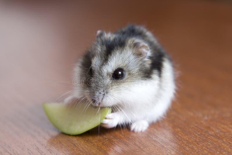 De leuke hamster eet appel royalty-vrije stock afbeeldingen