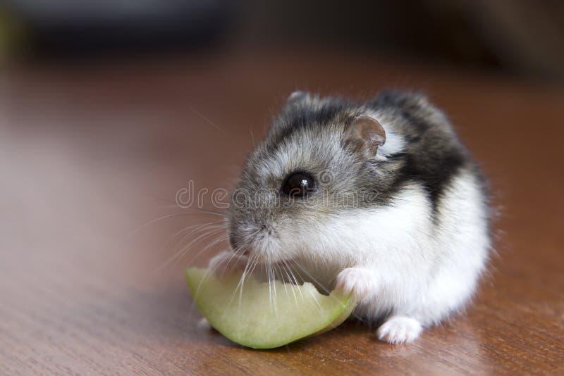 De leuke hamster eet een plak van appel stock afbeeldingen