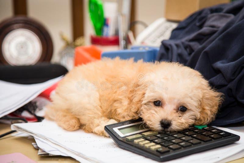 De leuke hond die van het poedelpuppy die op een calculator rusten op een slordig bureau wordt geplaatst stock fotografie