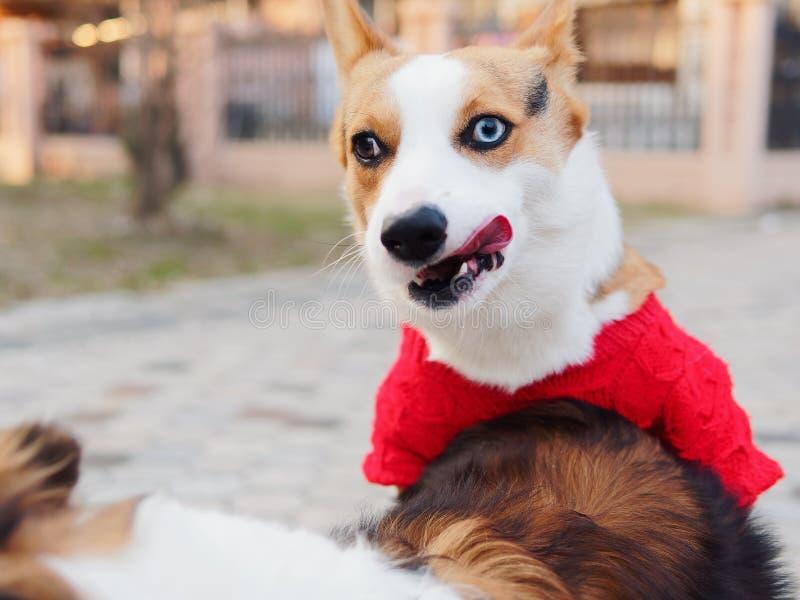 De leuke hond met zwarte kop van tricolor Welse corgi pembroke met rode sweater probeert om geslacht met een herdershond van Shet stock fotografie