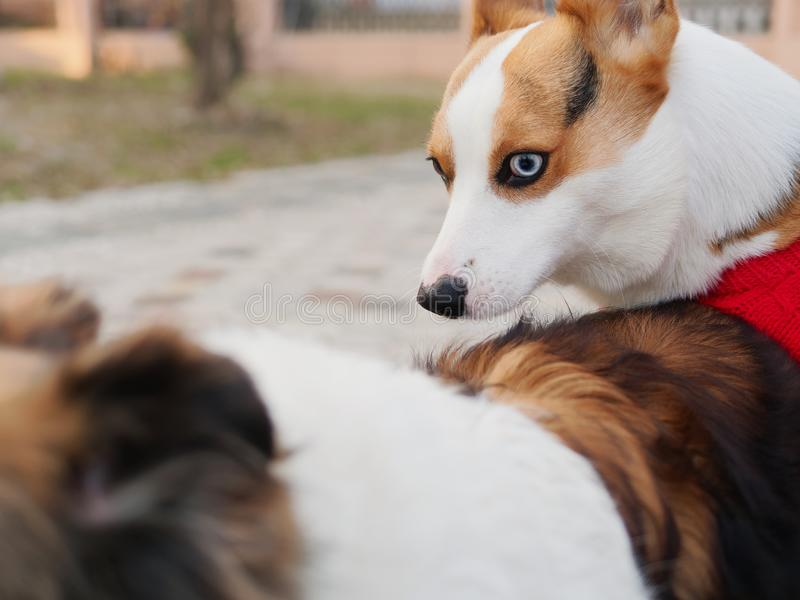 De leuke hond met zwarte kop van tricolor Welse corgi pembroke met rode sweater probeert om geslacht met een herdershond van Shet royalty-vrije stock afbeelding