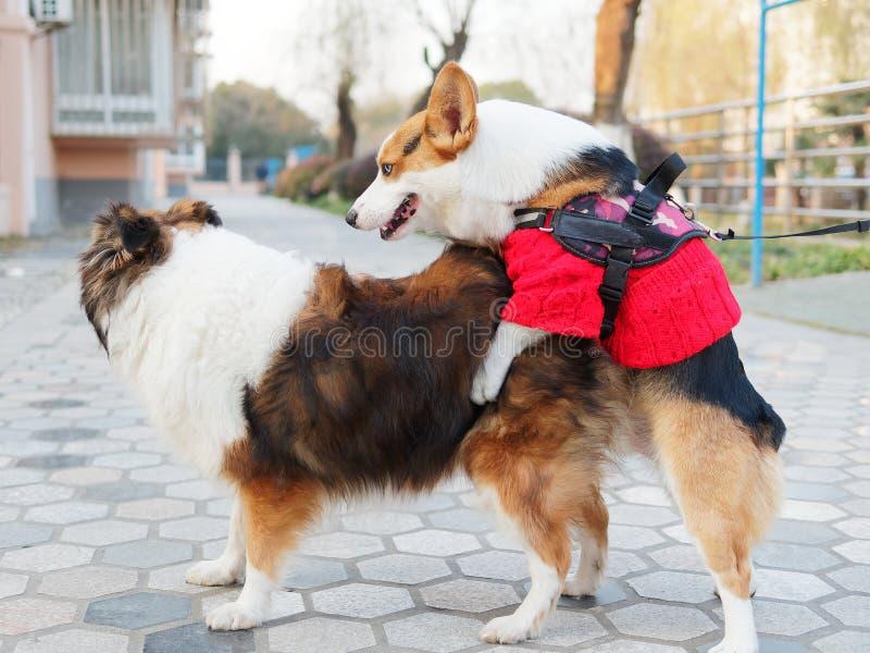De leuke hond met zwarte kop van tricolor Welse corgi pembroke met rode sweater probeert om geslacht met een herdershond van Shet stock foto