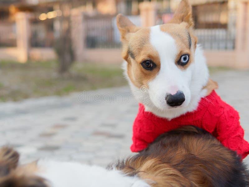 De leuke hond met zwarte kop van tricolor Welse corgi pembroke met rode sweater probeert om geslacht met een herdershond van Shet stock afbeelding