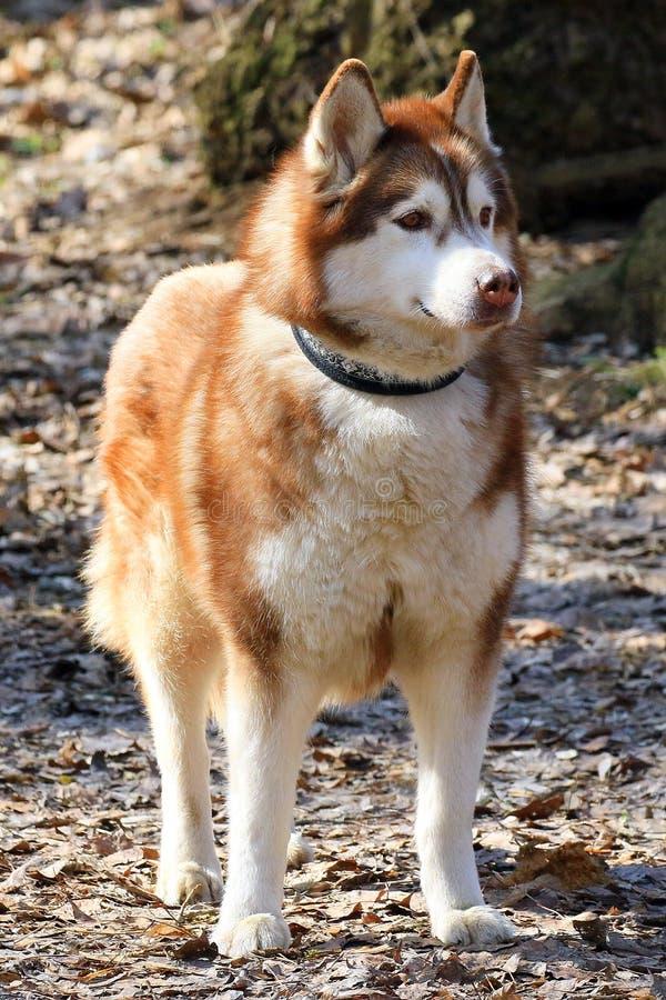 De leuke hond Schor tribunes op het gebladerte van vorig jaar in het park op de lente lopen en bekijkt de fotograaf stock afbeeldingen