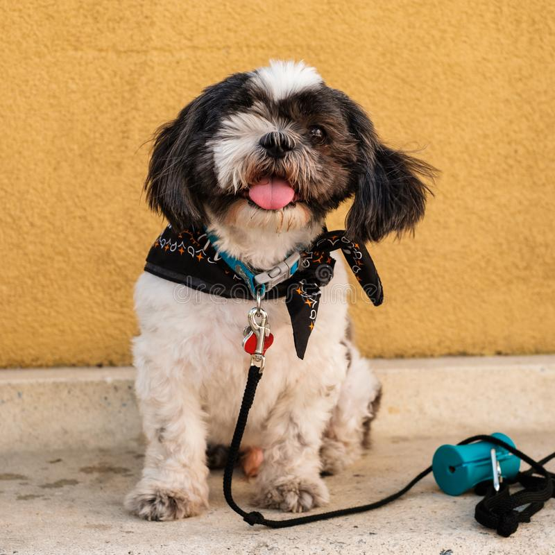 De leuke hond van shihtzu royalty-vrije stock foto