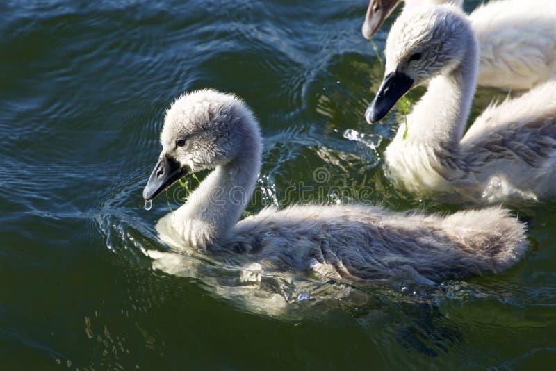 De leuke jonge stodde zwanen zwemmen stock afbeelding
