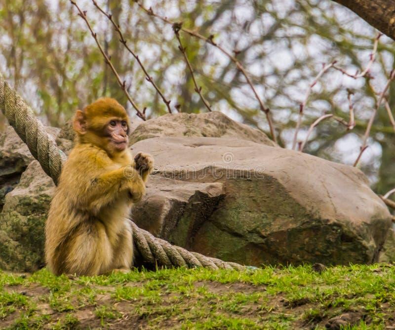 De leuke jonge zuigeling van Barbarije macaque in close-up, Bedreigde dierlijke specie van Afrika stock foto's