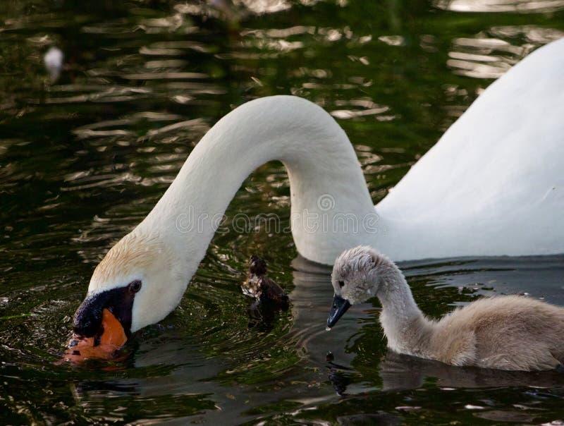 De leuke jonge zwaan probeert om de bewegingen van zijn vader te herhalen stock foto's