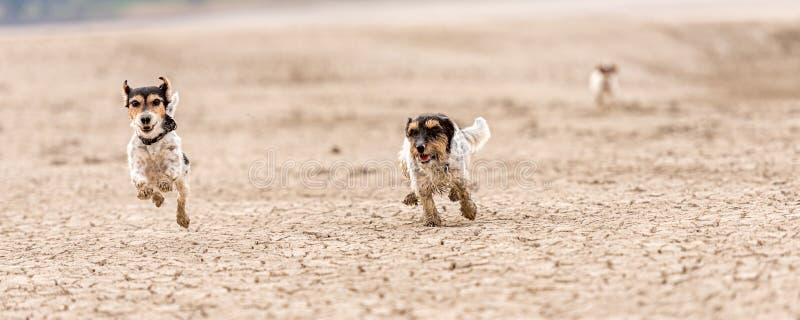 De leuke kleine honden lopen over zandige grond en hebben pret Twee Hefboom Russell Terriers stock foto