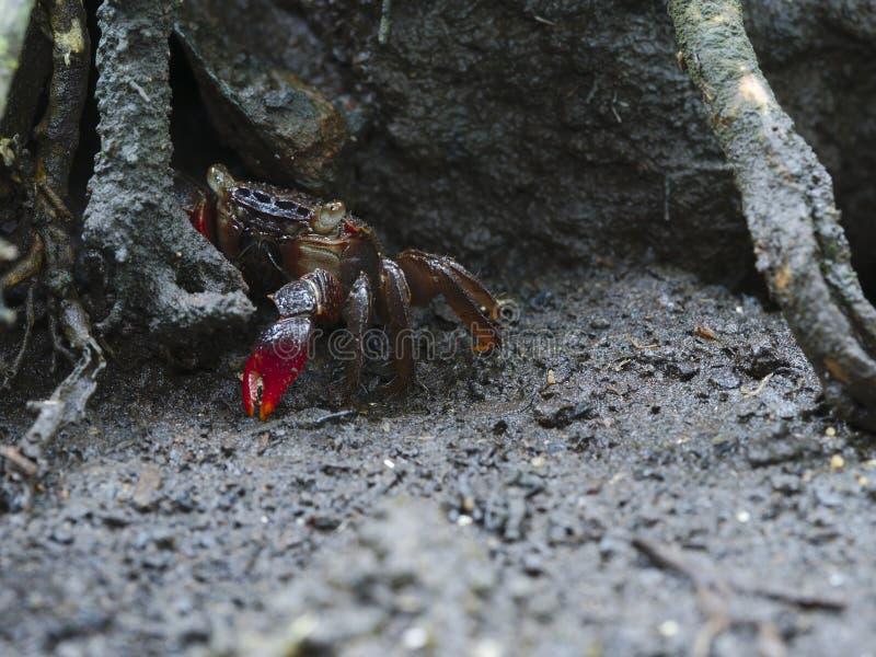 De leuke krabben gluren achter de wortels van bomen stock foto's