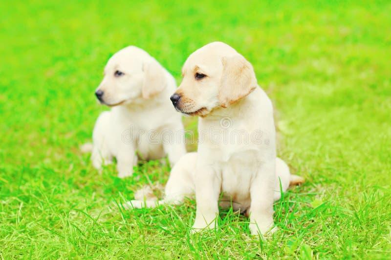 De leuke Labrador van twee puppyhonden zit in openlucht op gras royalty-vrije stock foto