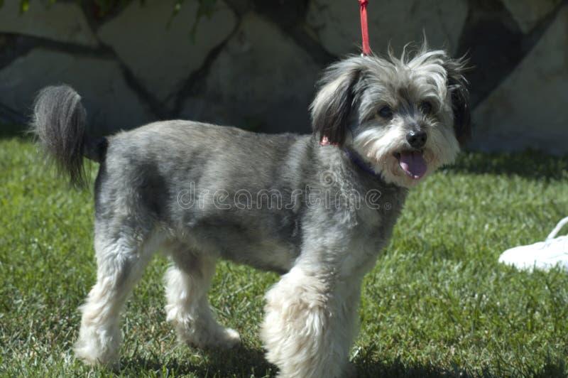 De leuke mengeling van Havanese van de puppyhond schnauzer royalty-vrije stock fotografie
