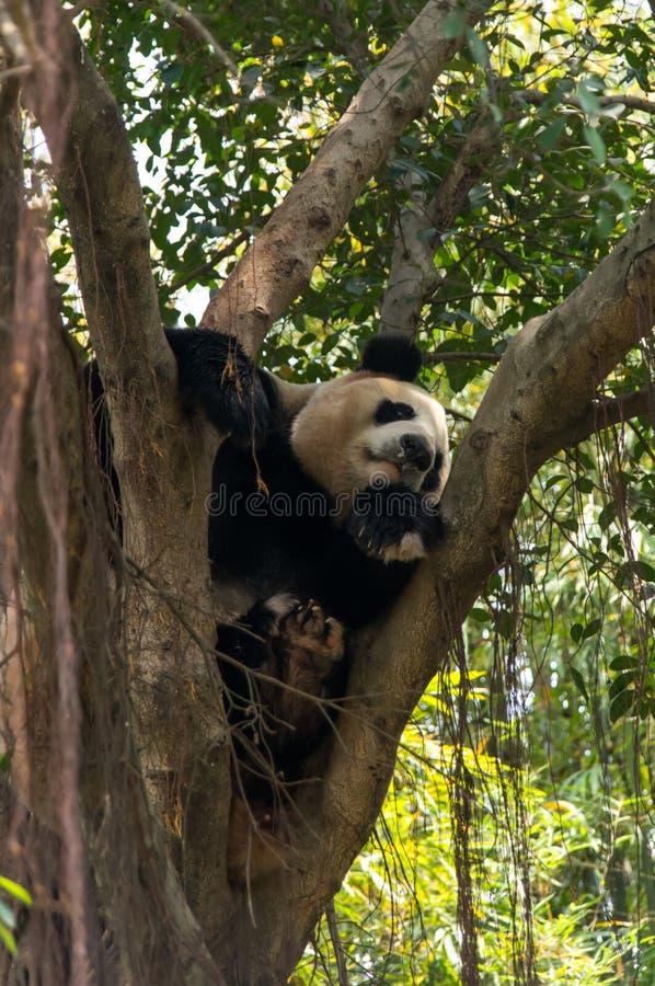 De leuke panda slaapt op de boom royalty-vrije stock fotografie