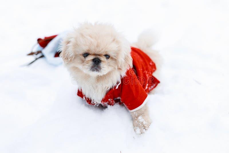 De leuke Pekinees van Puppyhonden in warme kleren die zich in de sneeuw bevinden stock afbeelding