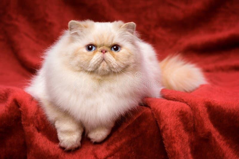 De leuke Perzische room colorpoint kat ligt op een rood fluweel stock foto