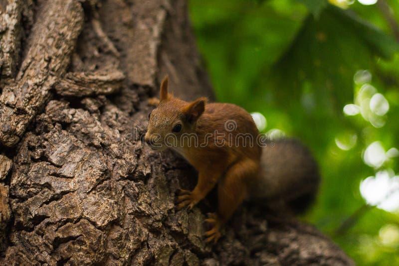 De leuke pluizige eekhoorn zit in een boom stock afbeelding