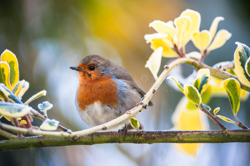 De leuke pluizige rode vogel van Robin op een boomtak royalty-vrije stock foto's