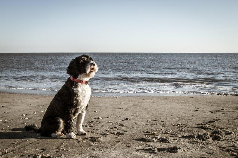 De leuke Portugese zitting van de Waterhond op het strand stock foto's