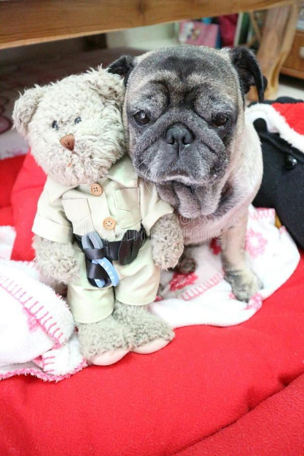 De leuke Pug Leuke Hond draagt Omhelzing royalty-vrije stock afbeelding