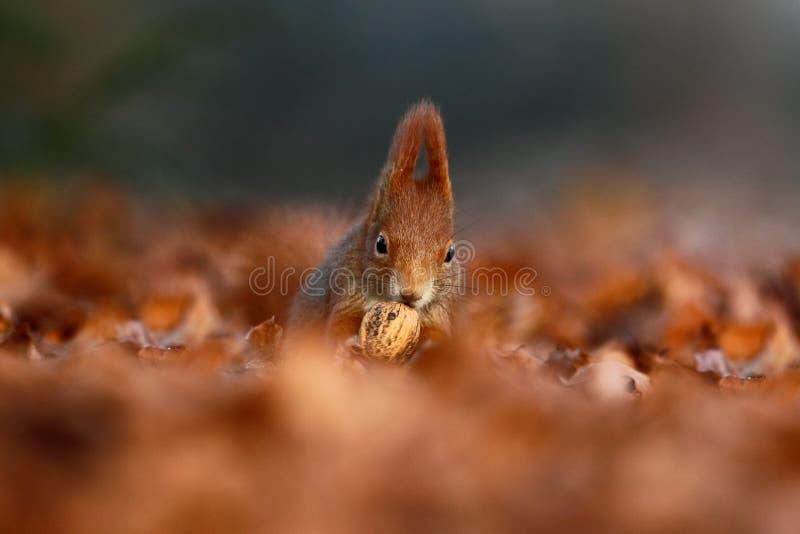 De leuke rode eekhoorn met lange gerichte oren eet een noot in de herfst oranje scène met aardig vergankelijk bos op de achtergro royalty-vrije stock foto's