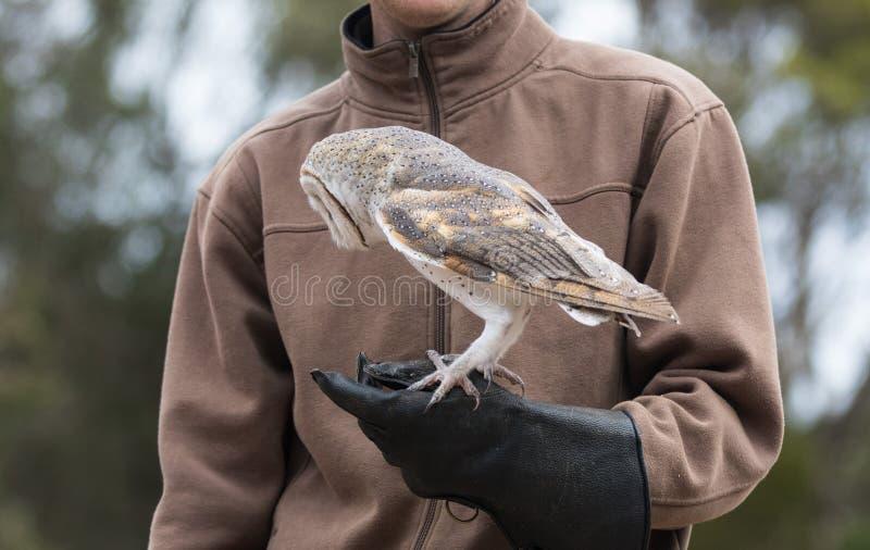 De leuke schuuruil, Tyto alba, met grote ogen die op de leerhandschoen zitten ving een muis en eet haar Uiljager met a stock afbeelding