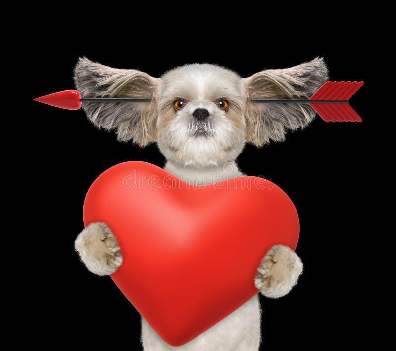 De leuke shitzuhond valt in liefde op valentijnskaartendag Geïsoleerd op Zwarte stock foto's