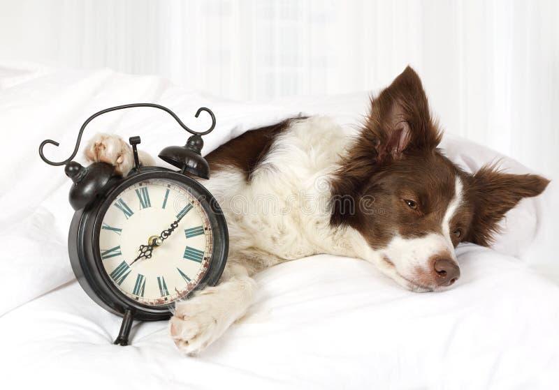 De leuke slaap van de het rassenhond van de Colliegrens in bed stock foto's