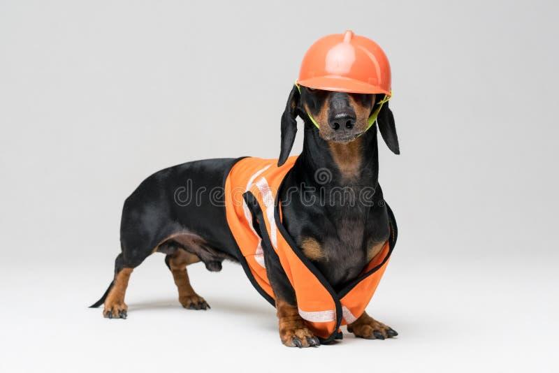 De leuke tekkel van de hondbouwer in een oranje bouwhelm en een vest verduistert de ogen, op grijze achtergrond, bekijkt stock foto's